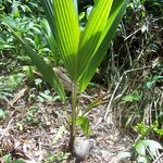 how to grow a coconut
