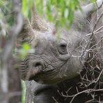 Black Rhino!!!!