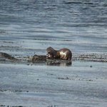 Otter fishing nearby