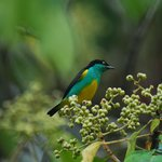Yellow-tufted Dacnis