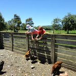 Feeding the chickens at Quinney Farm Park