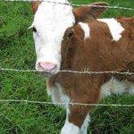 Calf on campus