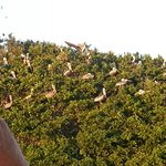 brown pelicans on a mangrove island