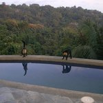 capuchin monkeys hanging out by the pool