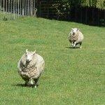 Very friendly sheep...