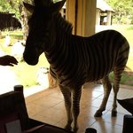 Feeding zebra on the porch of the lodge.