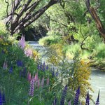 lupins in spring