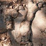Fossil Leg Bone