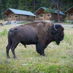 Buffalo Cabin Visit