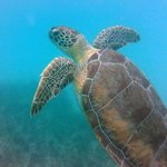 Turtle heading for the surface at Maho Bay