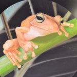 Frogs Kuranda
