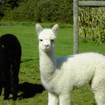 "Baby Alpacas are called ""crias"""