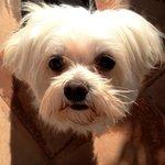 Resident Maltese Terrier