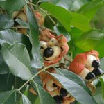 Your breakfast--grown on the property and picked fresh:  Famous Jamaican Ackee