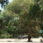 Kangroos laying in the shade