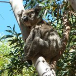 Koala at Flinders Chase National Park