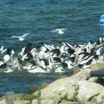 Pelican Feeding at Kingscote