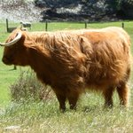 HIghland cattle which grow too fat in NZ's pasture land
