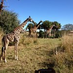 At the theme park not the hotel will you see giraffes in the winter