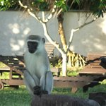 Monkey at Diani Beach