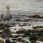 Great Black backed gull (Larus marinus) eyeing a fish which was probably killed by a grey seal.