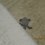 Baby sea turtle outside my room
