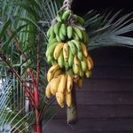 natural ripe of this delicious bananas
