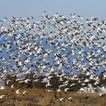 Snow Goose Lift-off