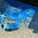 A rare blue lobster