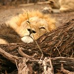 Lion pride found by channel