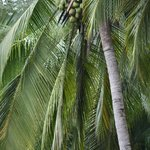 Coconut tree!