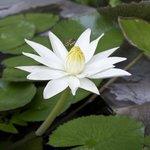 Water-Lily @ Villa Markisa