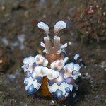 Harlequin Shrimp or Hymenocera picta