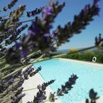 Lavender around the pool