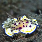Chromodoris sp19