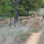 Löwen bei der Jagd