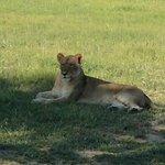 lioness sunning