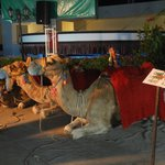 camel in the hotel!