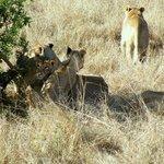 famiglia di leoni con cuccioli