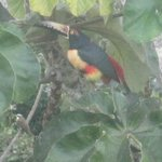 Toucan and fly catcher