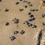 Our guests released twenty little tortoises.