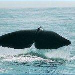 Sperm Whale in ocean at Kaikoura