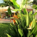 Pool area, birds of paradise & banana tree