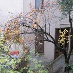 Persimon tree outside the window