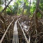 Mangroven-Walk