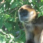 Monkey in tree in Nicaragua