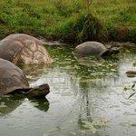 Iconic Tortoises - Puerto Ayora