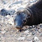 Harbor Seal Pup - Puerto Ayora
