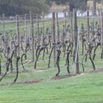 View of the vines in July