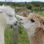 Summit Lodge alpacas